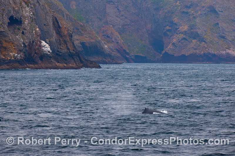 A Humpback Whale travels very close to the northwestern shores of Santa Cruz Island.