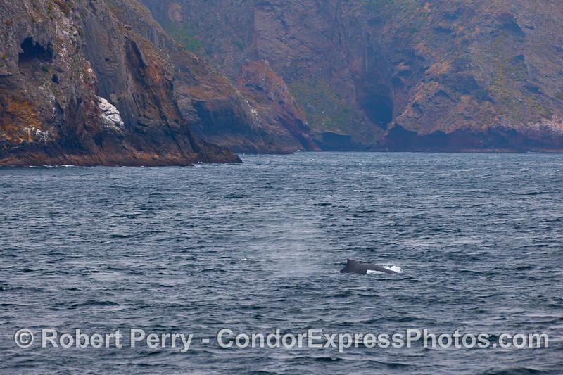 A Humpback Whale travels very close to the northwestern shores of Santa Cruz Island.