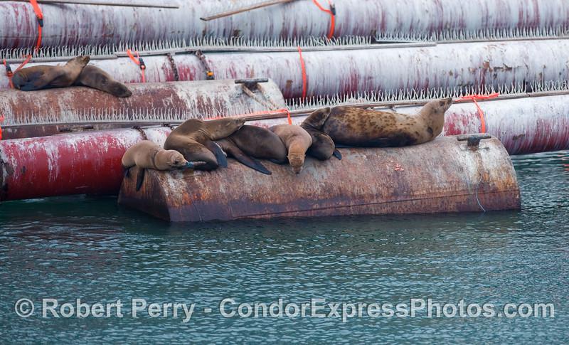 Sea lions on a mooring can near the dredge pipes - Santa Barbara Harbor.