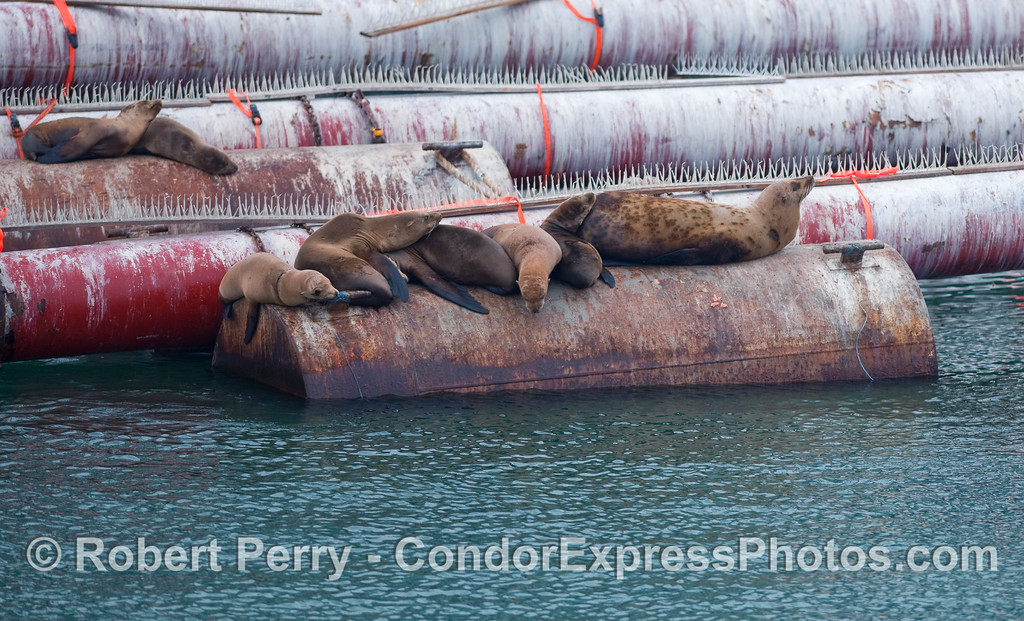 Sea lions on a mooring can near the dredge pipes - Santa Barbara Harbor.