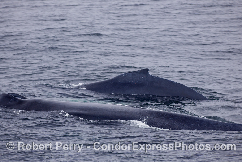 Humpback Whales - a cow and her calf.
