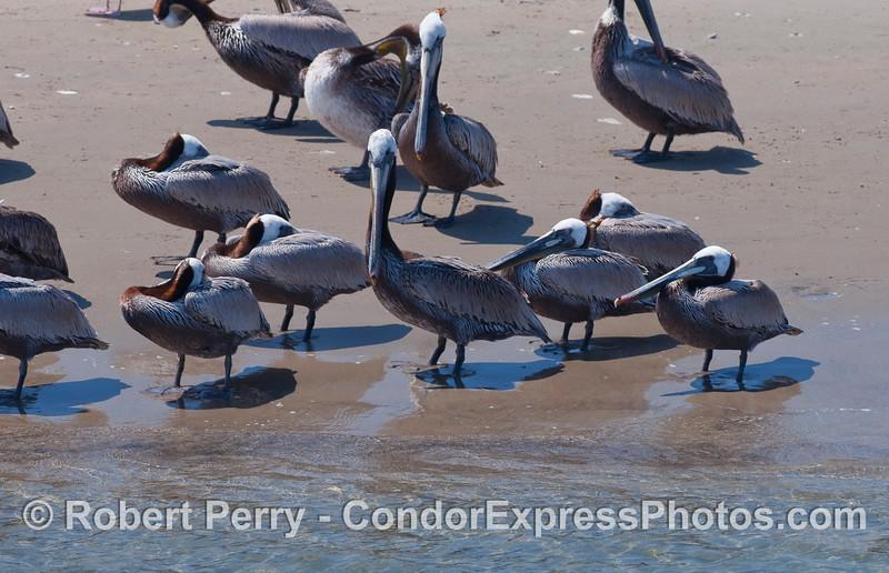 Brown Pelicans (Pelecanus occidentalis) resting in the warm sun on the sand inside Santa Barbara Harbor.