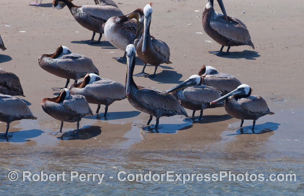 Brown Pelicans (Pelecanus occidentalis) resting in the warm sun on the sand inside Santa Barbara Harbor.