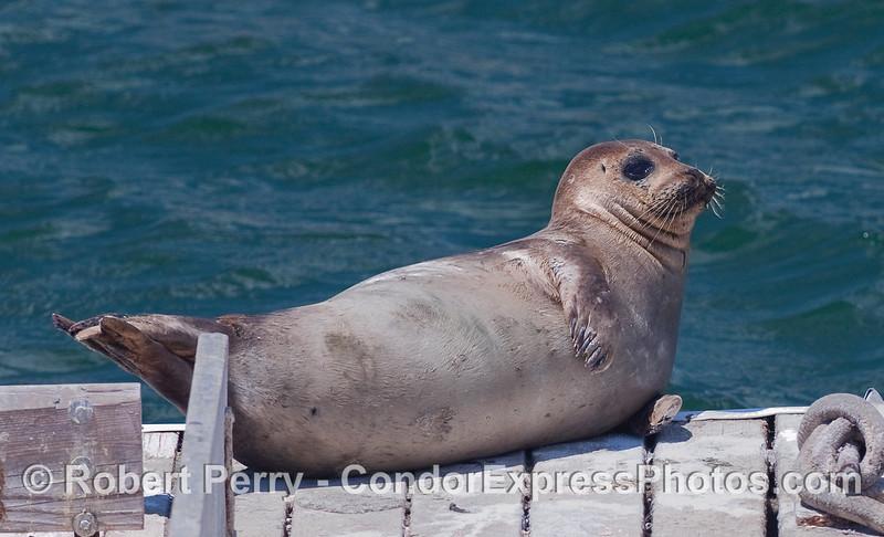 A Harbor Seal (Phoca vitulina) hauled out on the Santa Barbara Harbor bait barge.