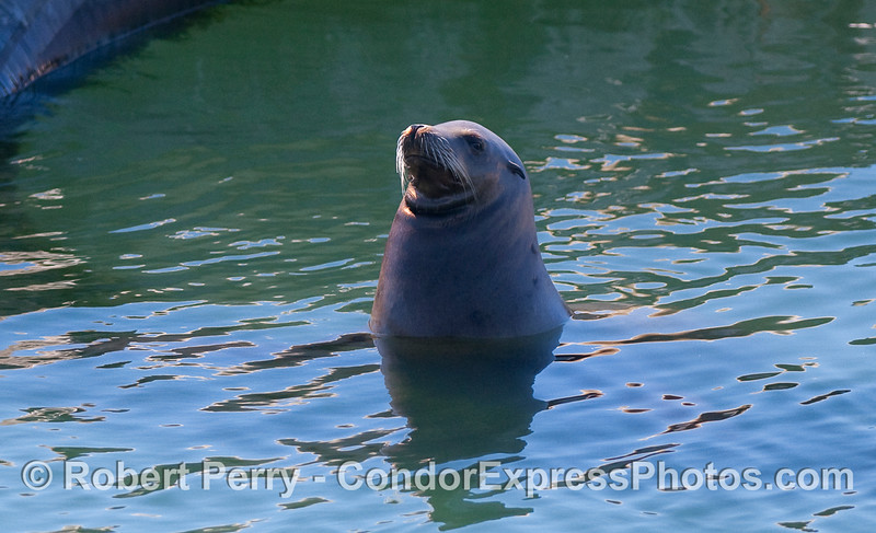 California Sea Lion (Zalophus californianus).