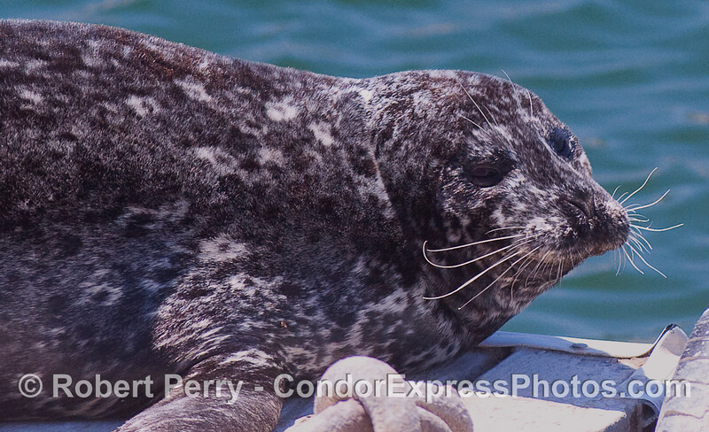 A Harbor Seal (Phoca vitulina) rests in the sun.