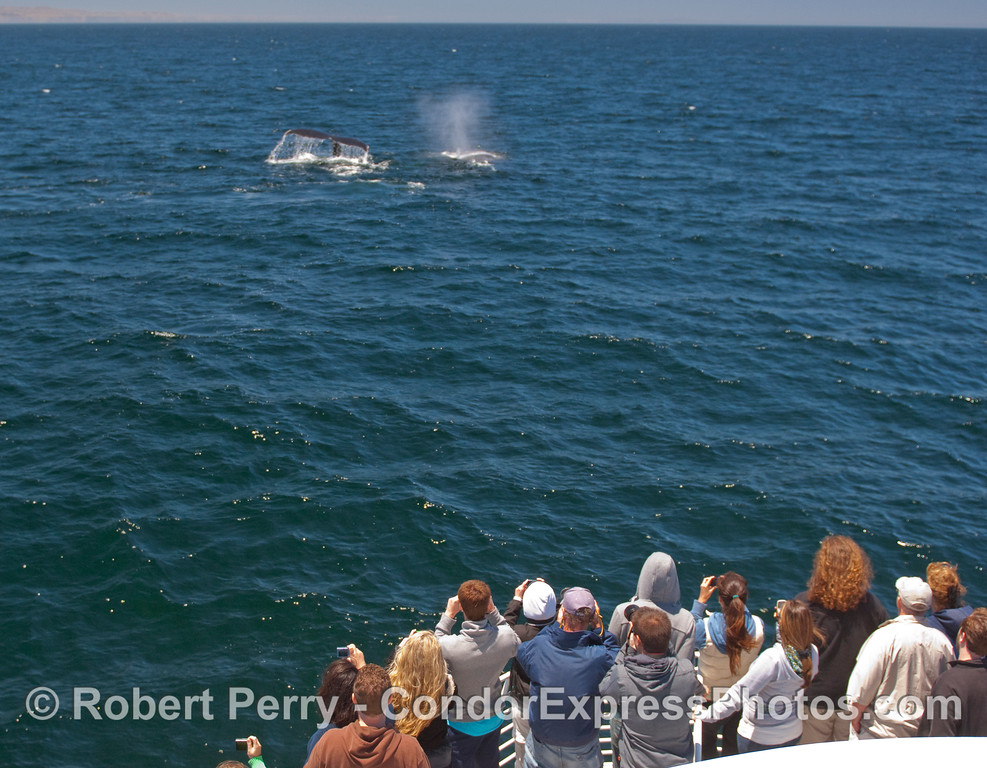 Whalers on board the Condor Express experience a close encounter with two Humpbacks.