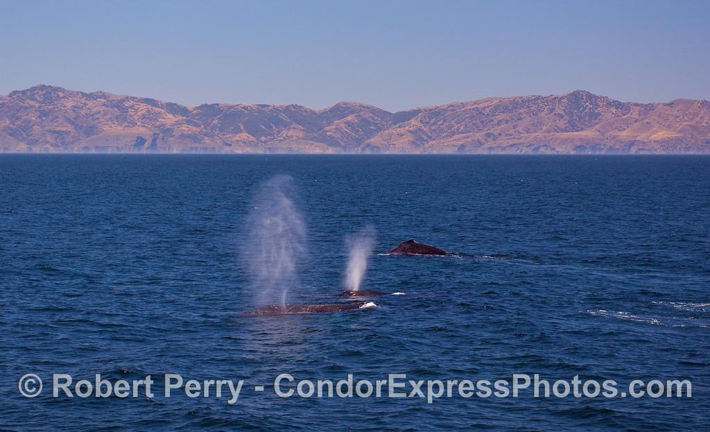 Three Humpbacks with Santa Cruz Island in back.