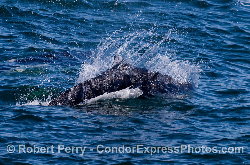 One zooming Dall's Porpoise.