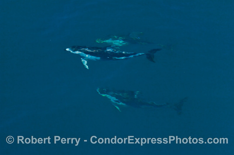Pacific White-sided Dolphins with ripples underwater.