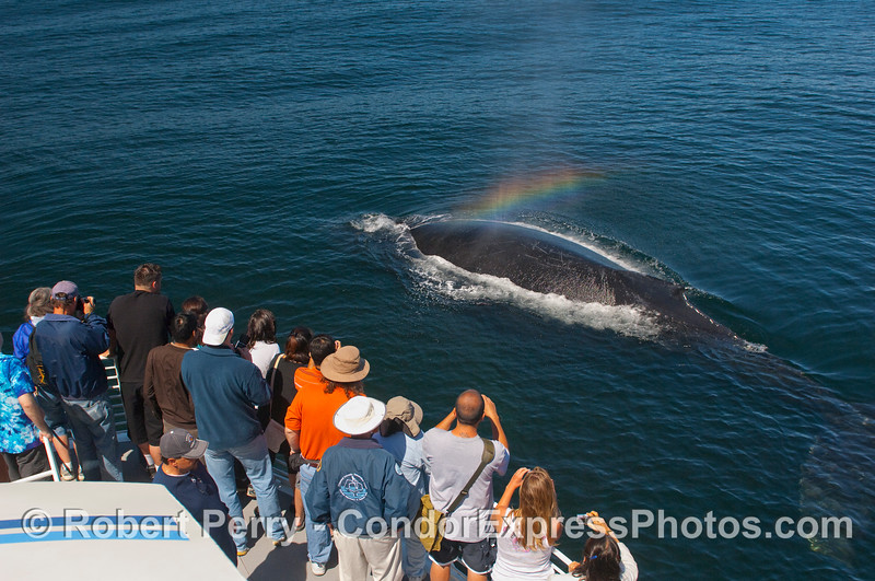 Humpback Whale with rainbow spout spray.