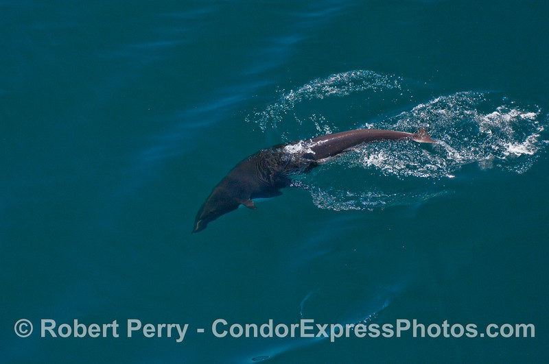 A Northern Right Whale Dolphin Heading down.