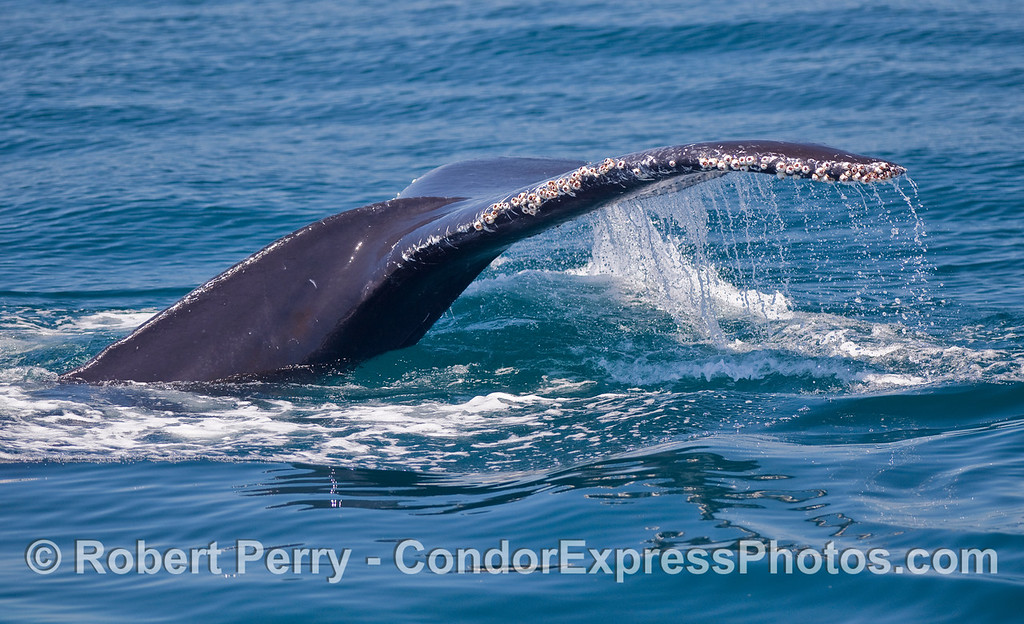 Tail flukes of a Humpback Whale.