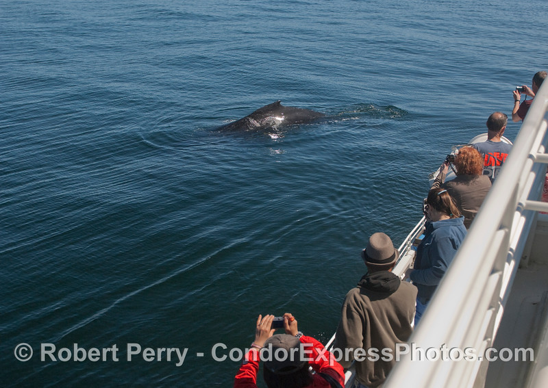 A very friendly Humpback Whale provides a worthy subject for the whalers with cameras.