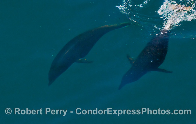 Two diving Northern Right Whale Dolphins.
