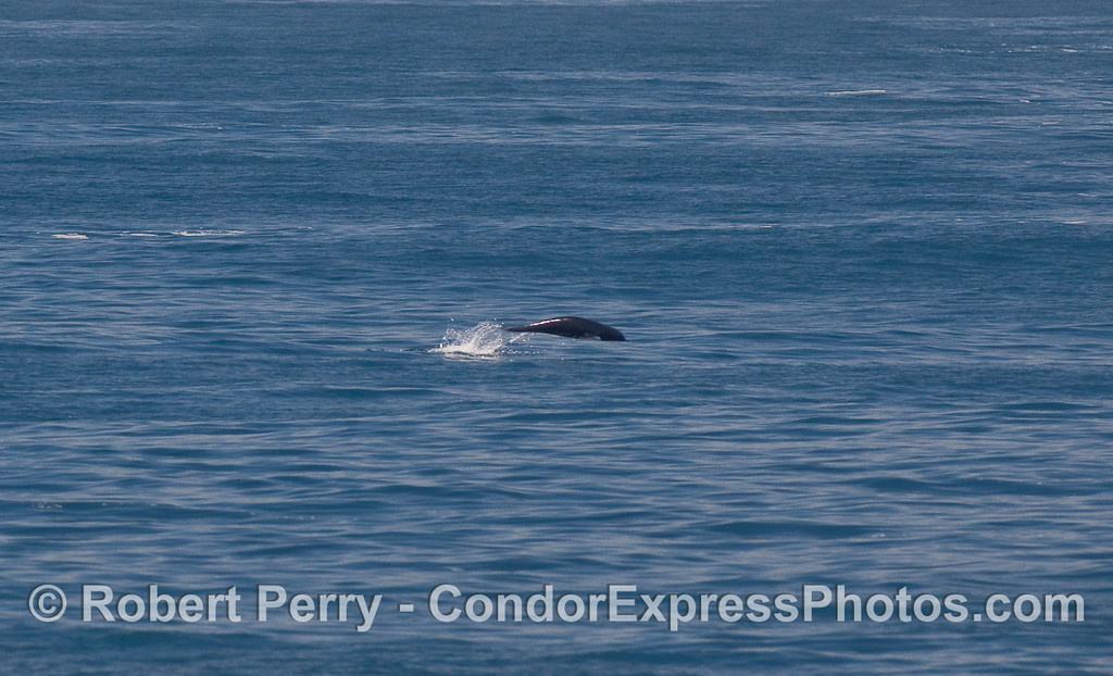 It is remarkable how much a leaping Northern Right Whale Dolphin resembles a porpoising sea lion.   This is a NRW Dolphin.