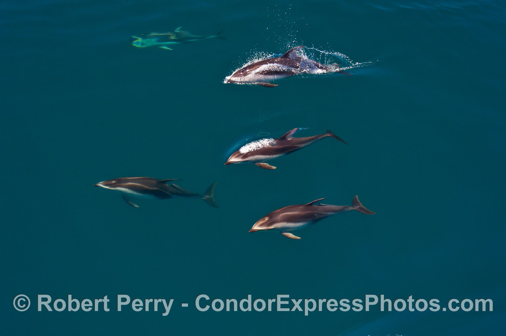Five Pacific White-sided Dolphins.