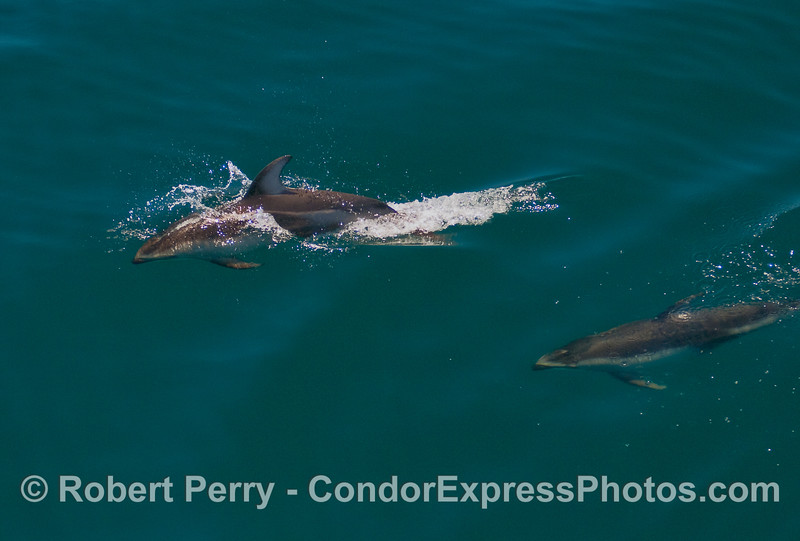 Two Pacific White-sided Dolphins zooming.