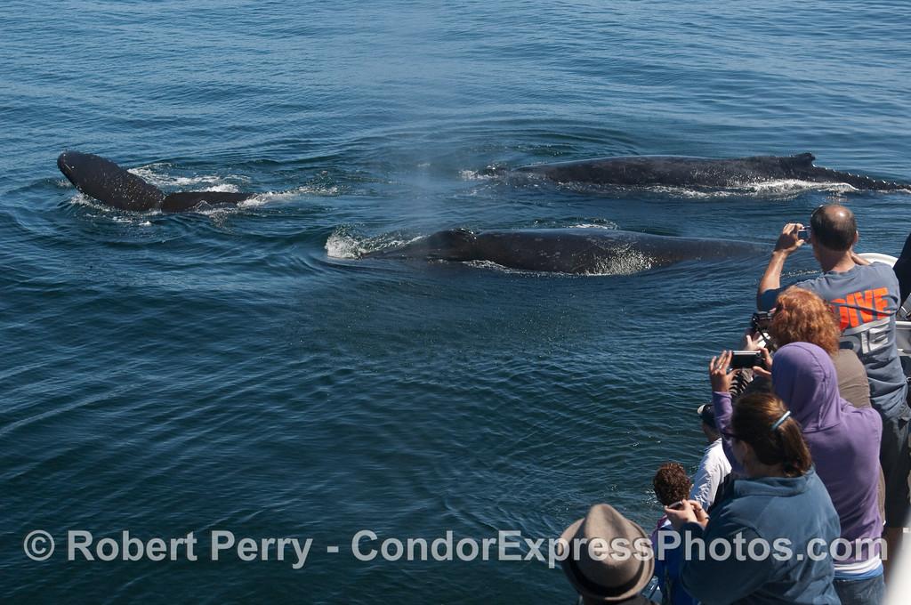 Three more Humpback Whales.