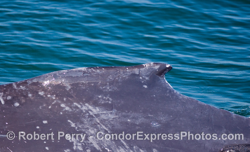 "Close look at the ""hump,"" or dorsal fin of a Humpback Whale."