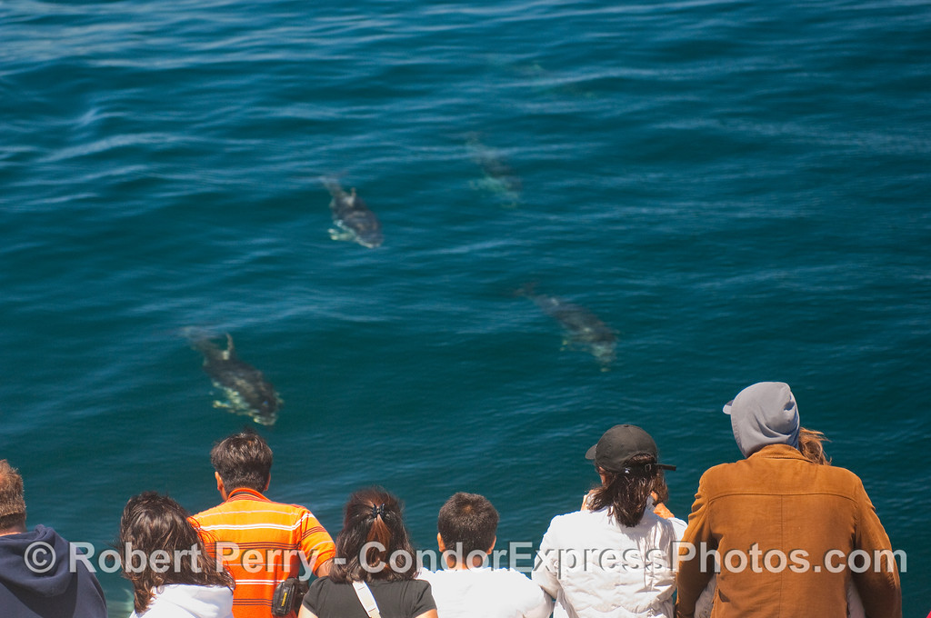 A small armada of Pacific White-sided Dolphins coming in to take a look at the whalers.