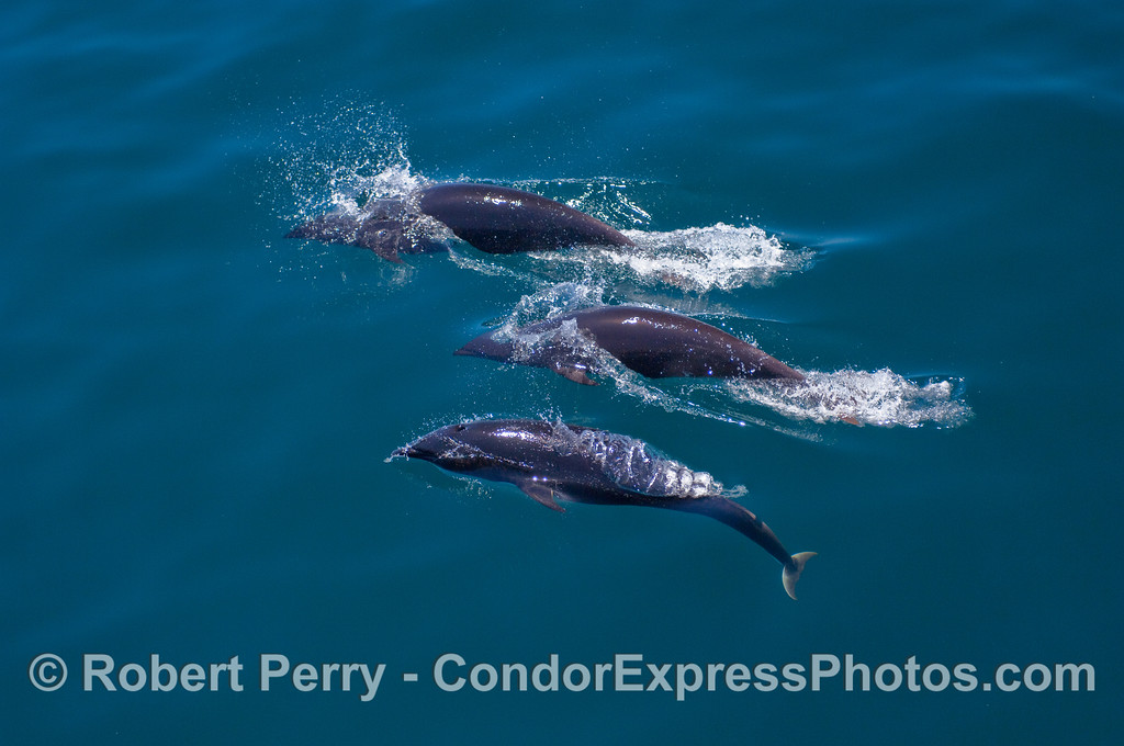 Three Northern Right Whale Dolphins.