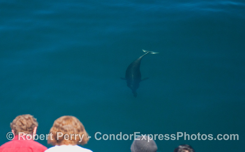 One Northern Right Whale Dolphin comes in for a closer look.