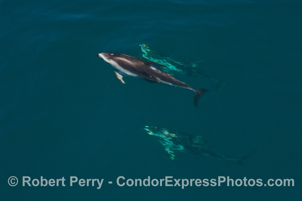 More Pacific White-sided Dolphins.