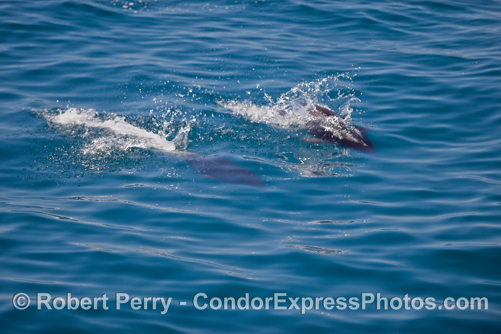 Two Northern Right Whale Dolphins make a splash.