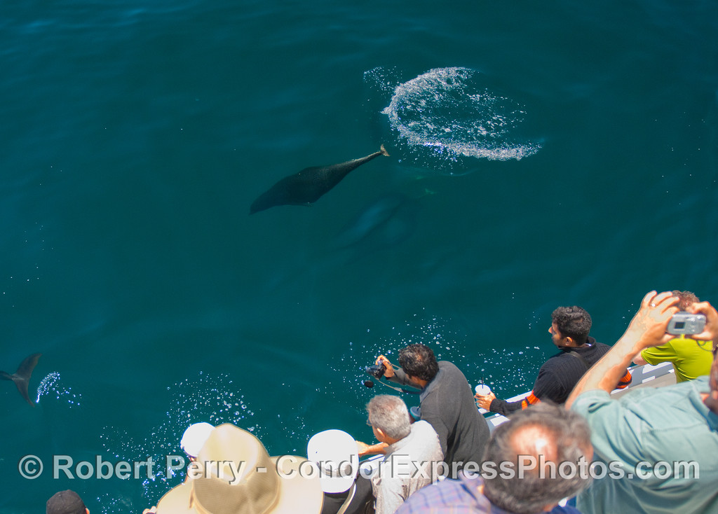 Northern Right Whale Dolphins passing close by the whalers.
