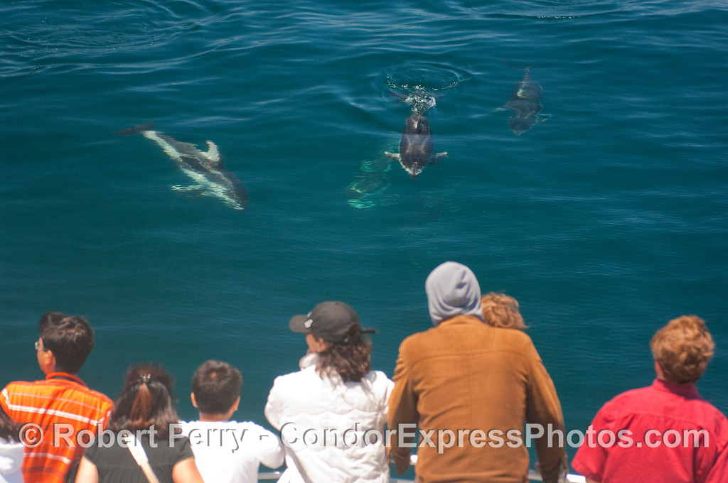 Pacific White-sided Dolphins coming towards the whalers.