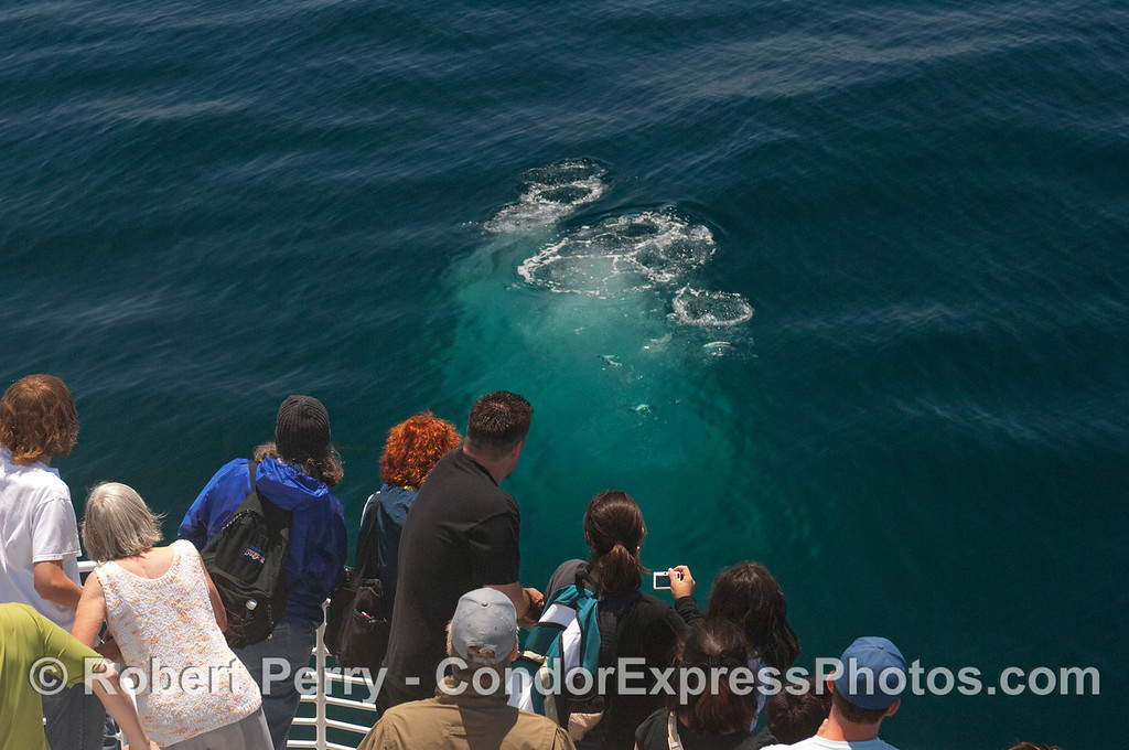 Whalers on the Condor Express get a good look at a bubble blast from a submerged Humpback Whale.