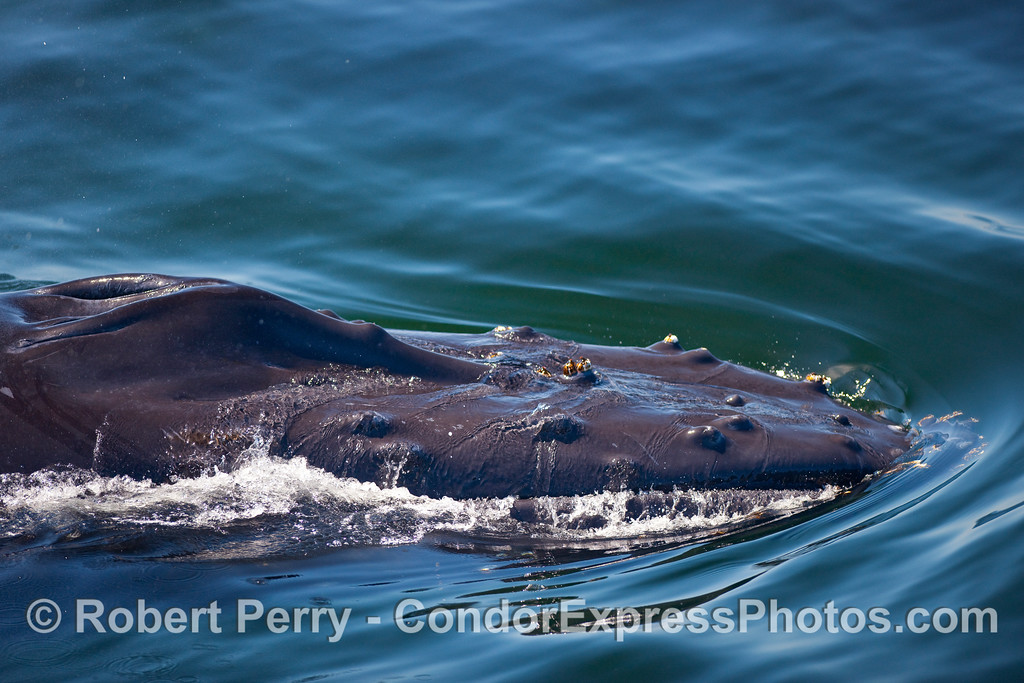 Head portrait - Humpback Whale.