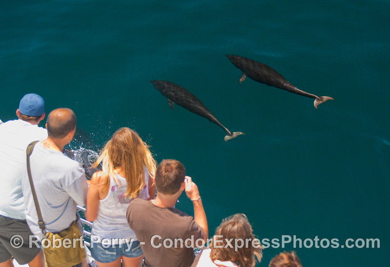 Two Northern Right Whale Dolphins make a close approach.