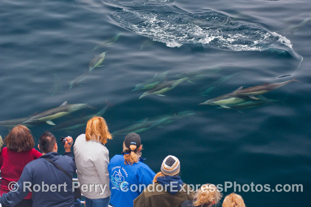 A swarm of Common Dolphins streak past the Condor Express.
