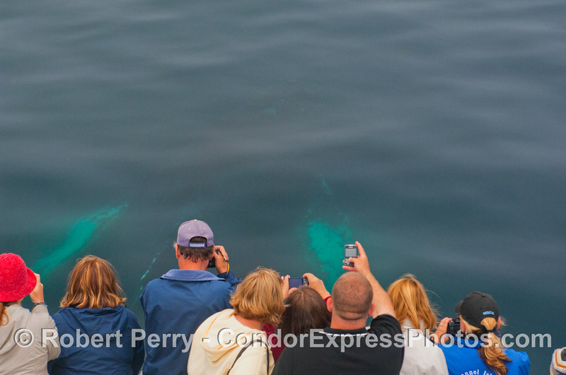 Coming up from directly beneath the Condor Express, a Humpback Whale thrills the whalers...image 1 of 3.