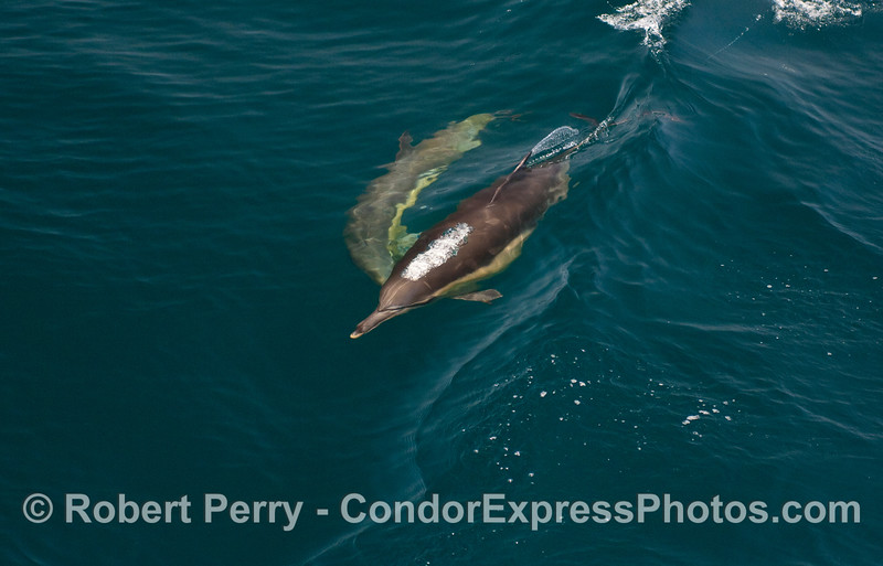 Two Common Dolphins ride a small wave.