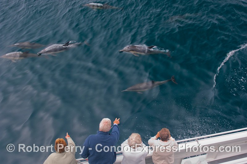 Common Dolphins visit the whalers.