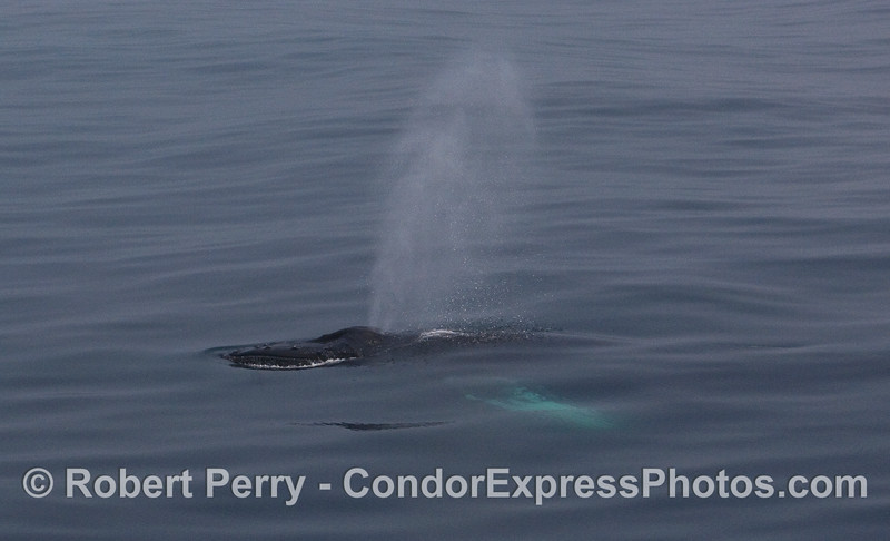 Spout in the fog - Humpback Whale.