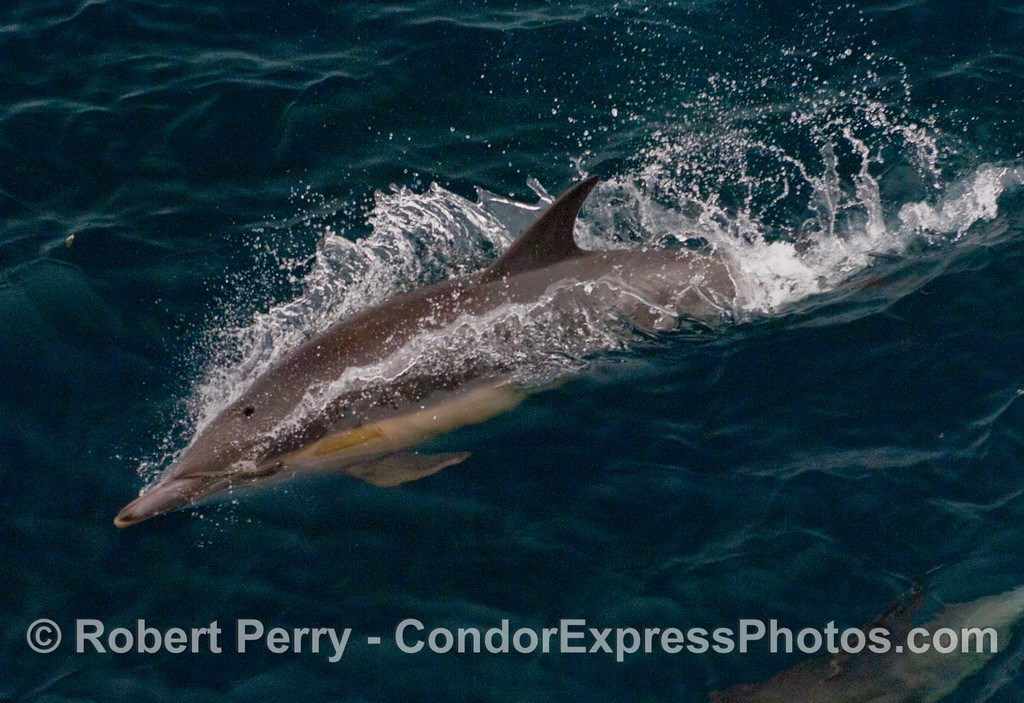 Close look at a high-speed Common Dolphin.