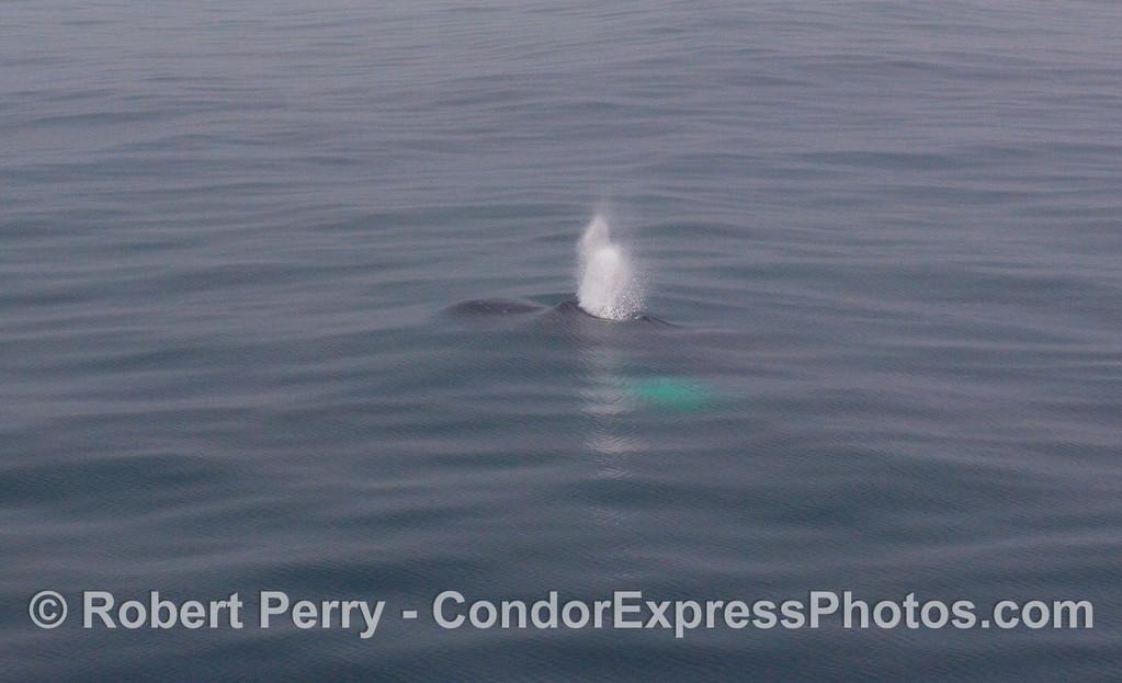 Mid-ocean geyser - Humpback Whale.