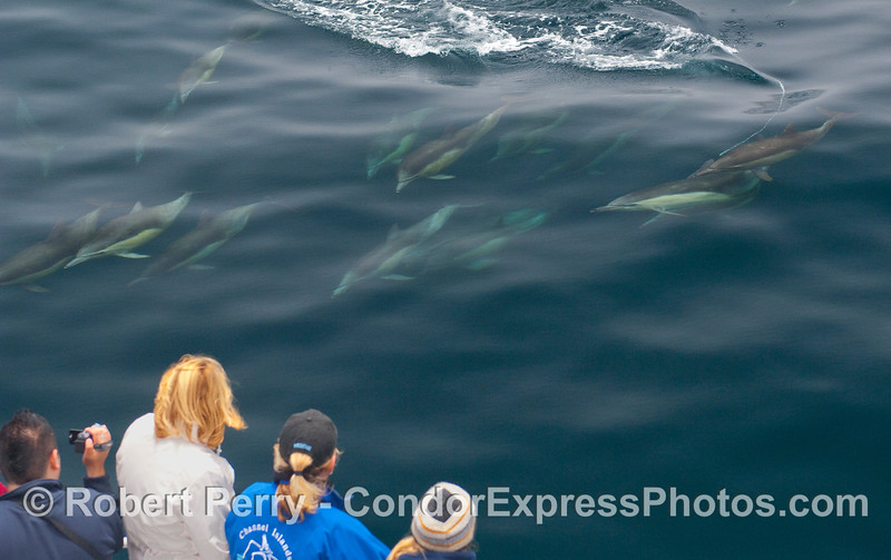 A herd of Common dolphins speeds in to take a look at the whalers on board the Condor Express.