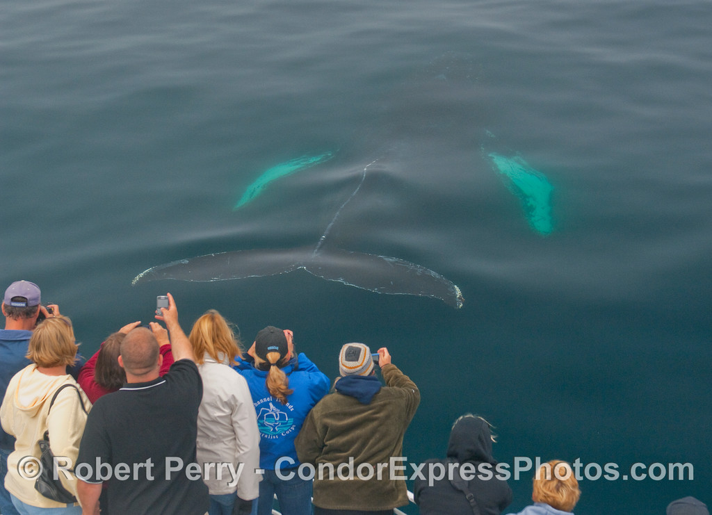 Coming up from directly beneath the Condor Express, a Humpback Whale thrills the whalers...image 2 of 3.