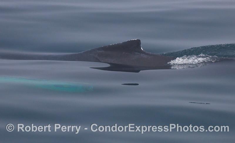 Through the fog, a Humpback Whale dorsal fin cuts the mirror glass surface.