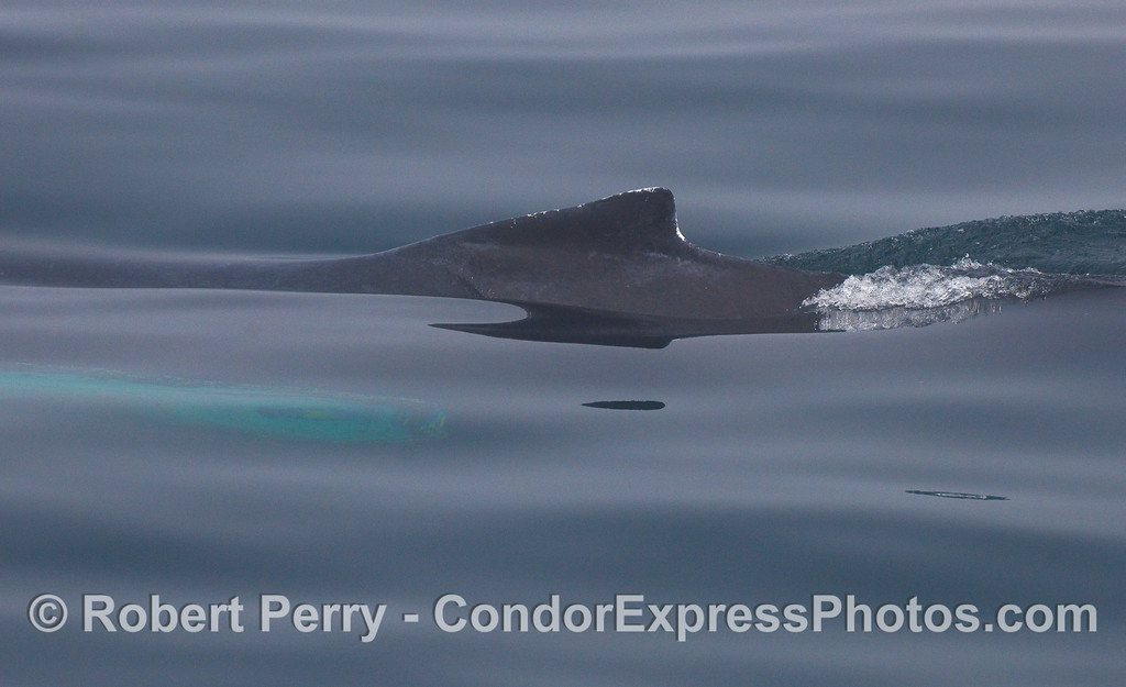 Through the fog, a Humpback Whale dorsal fin cuts the mirror glass surface.