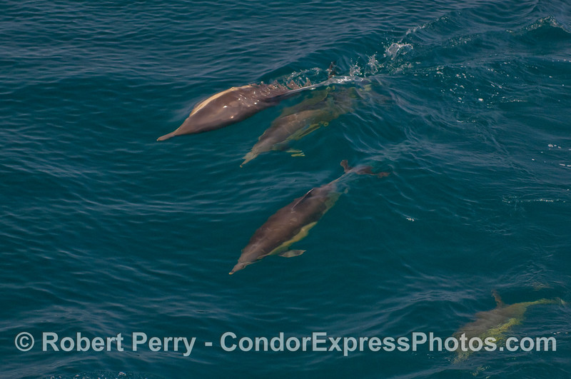 Common Dolphins, one swims sideways.