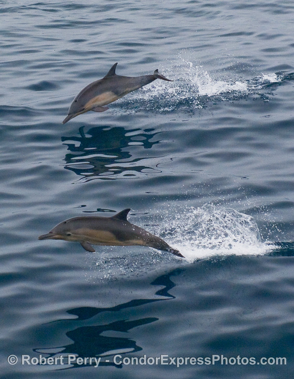 Two Common Dolphins leaping.