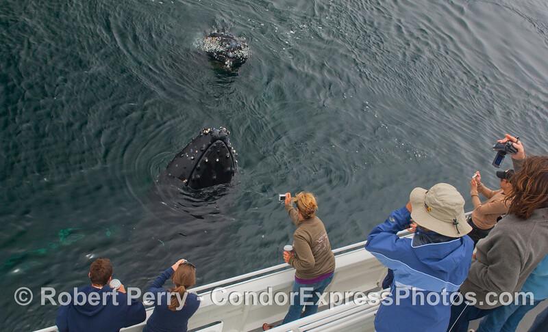 Two more Humpbacks.