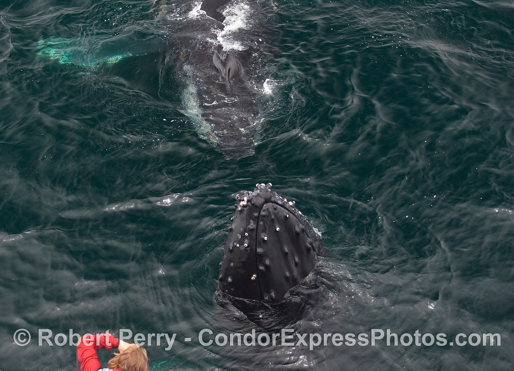 Two Humpbacks.