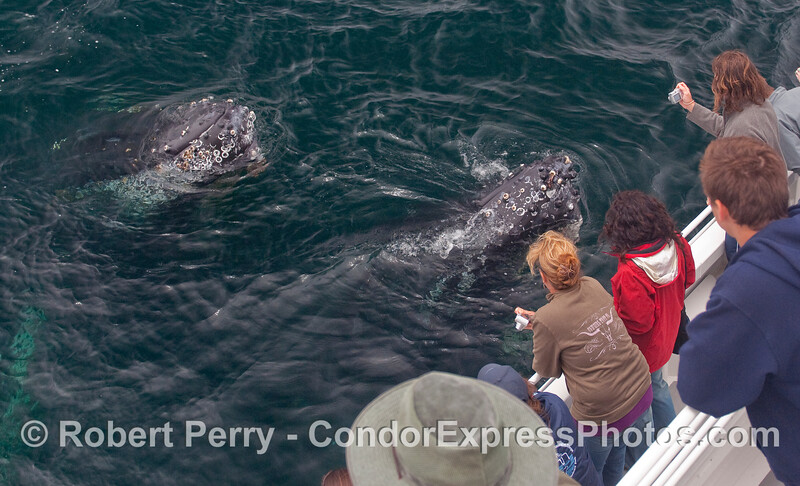 Two extremely friendly and curious Humpback Whales spyhop right next to the Condor Express as the whalers use their weapons of choice:  digital cameras.